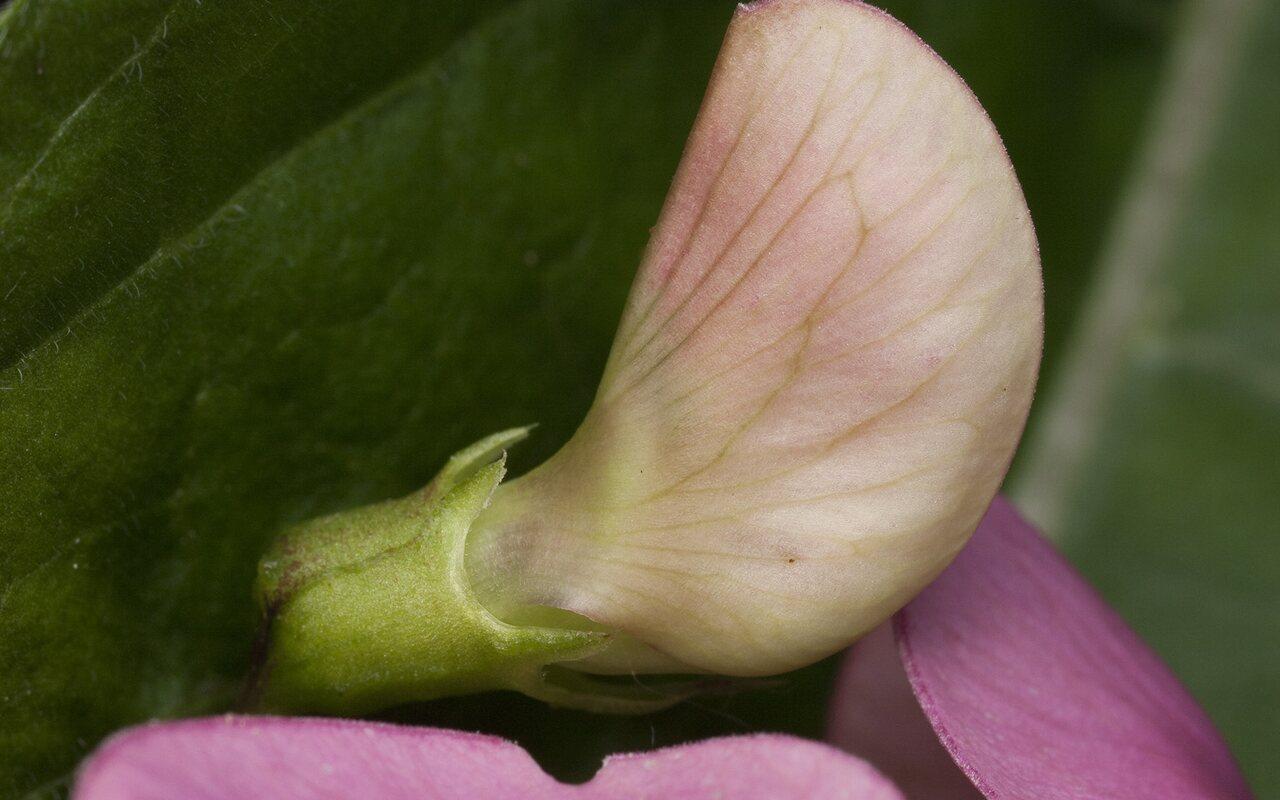 Fabaceae-1564.jpg