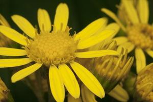 Jacobaea vulgaris · pievinė žilė