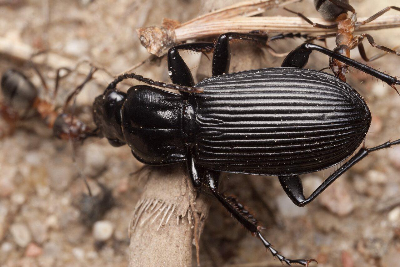 Pterostichus-niger-1578.jpg