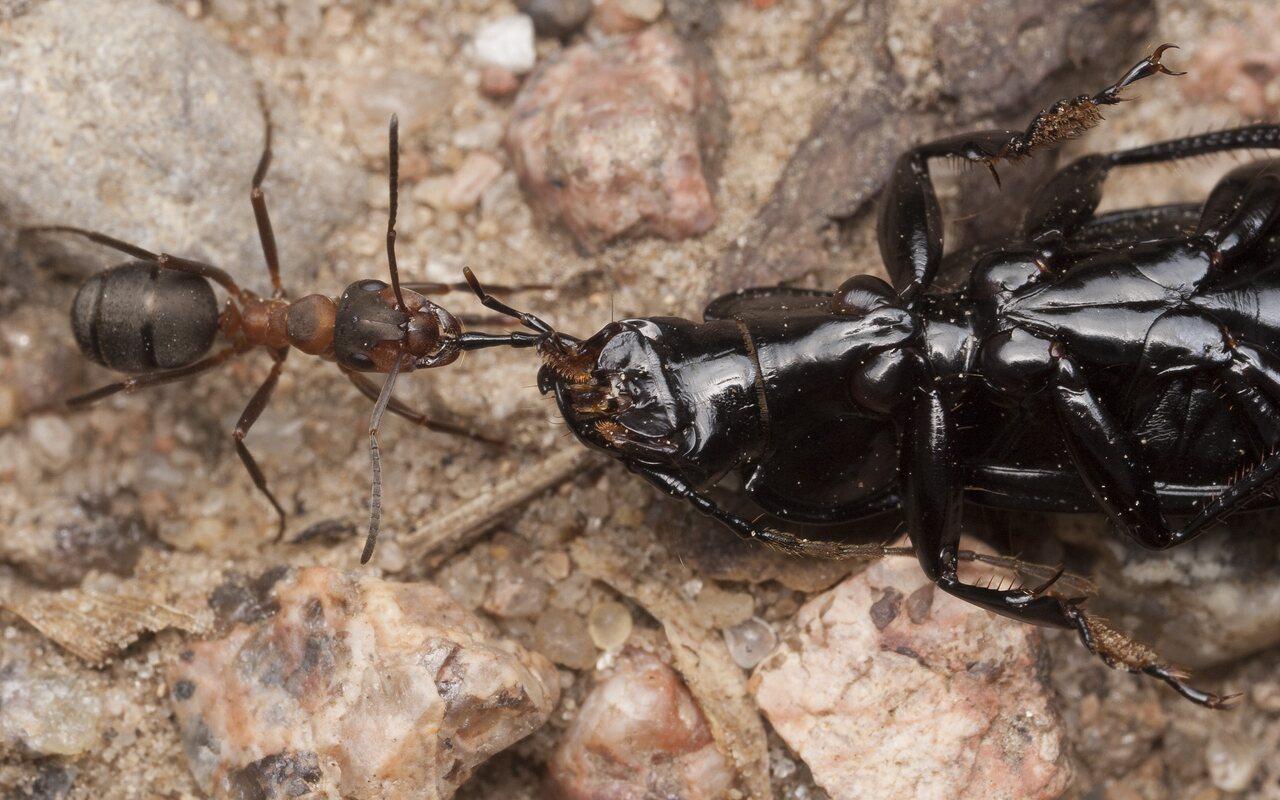 Formicidae-1582.jpg