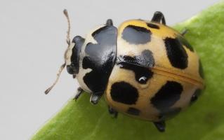 Hippodamia notata · dilgėlinė boružė