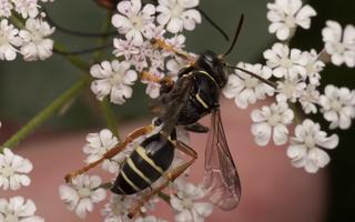 Hymenoptera 1600