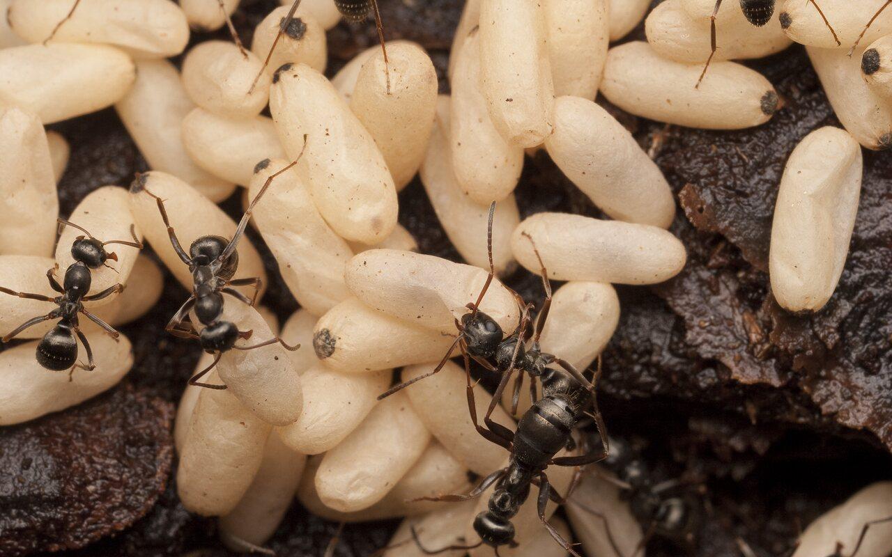 Formicidae-1663.jpg