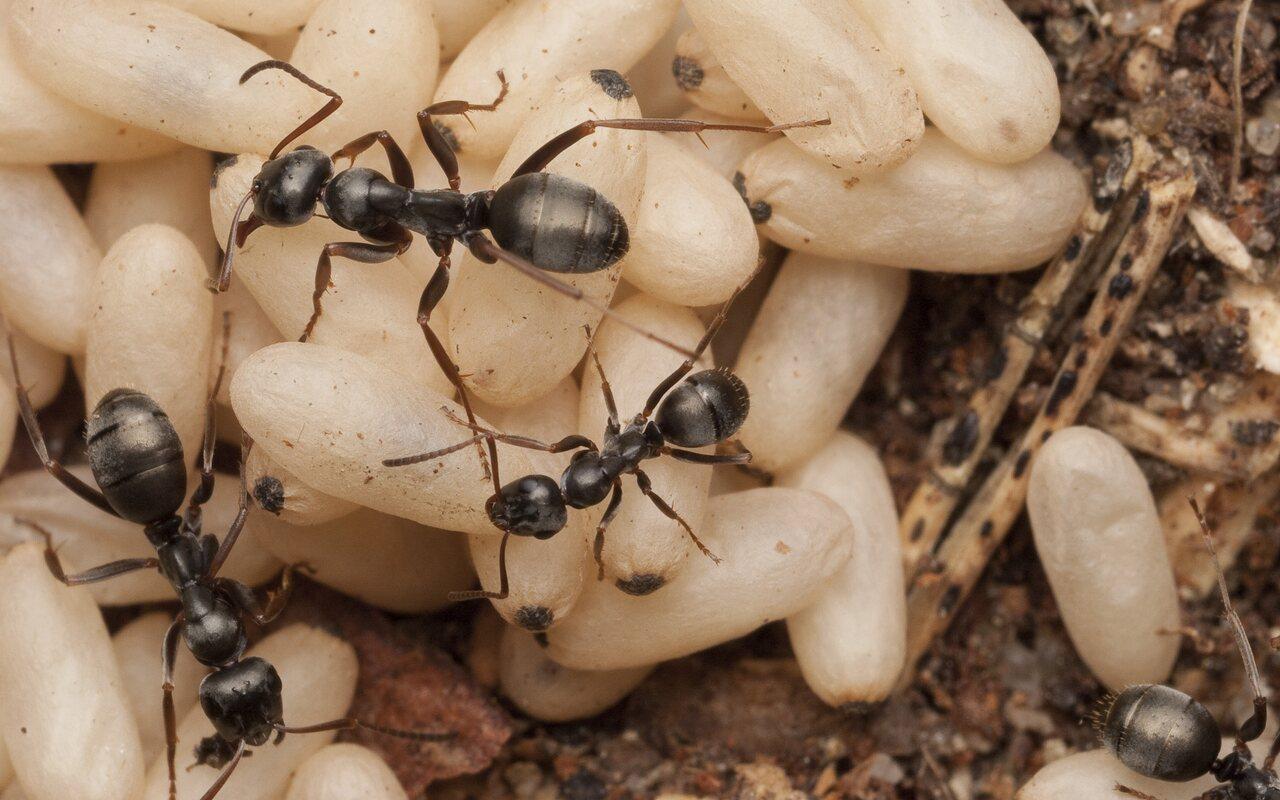 Formicidae-1668.jpg