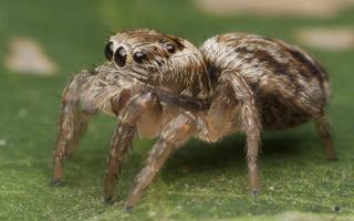Evarcha falcata juvenile · blizgantysis musėgaudis, jauniklis
