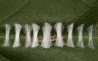 Ancylis mitterbacheriana caterpillar · ąžuolinis ancylis, vikšras