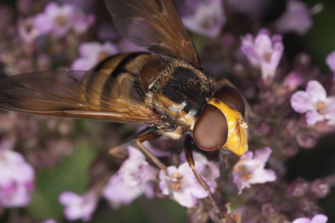 Syrphidae-1683.jpg