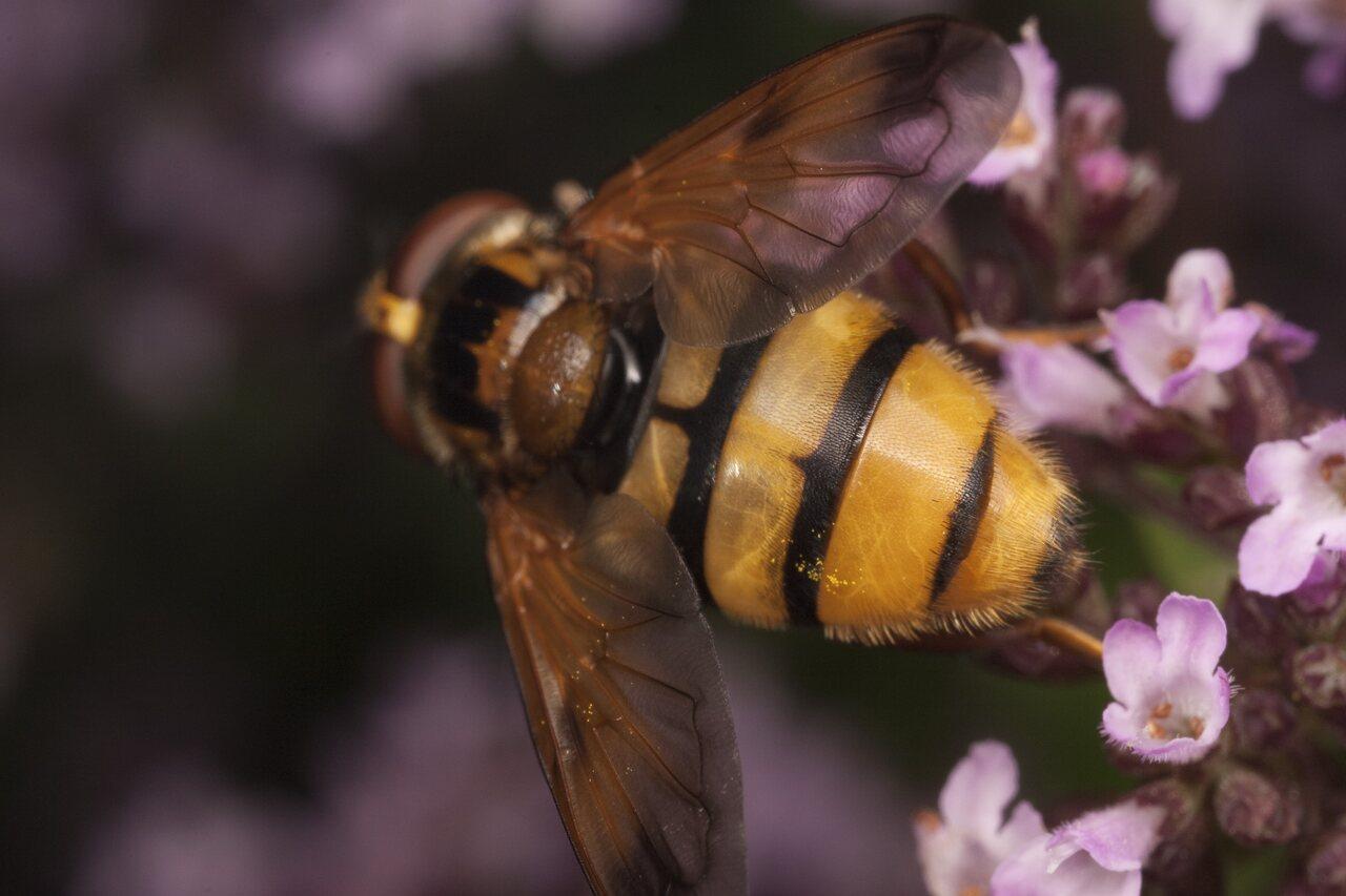Syrphidae-1685.jpg