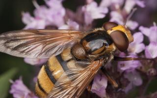 Syrphidae · žiedmusės