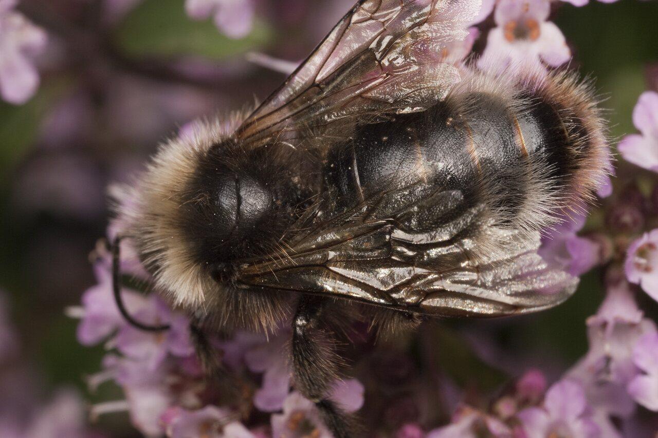 Apidae-1687.jpg