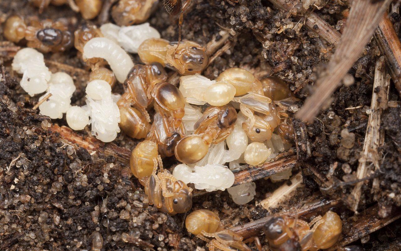 Formicidae-1689.jpg