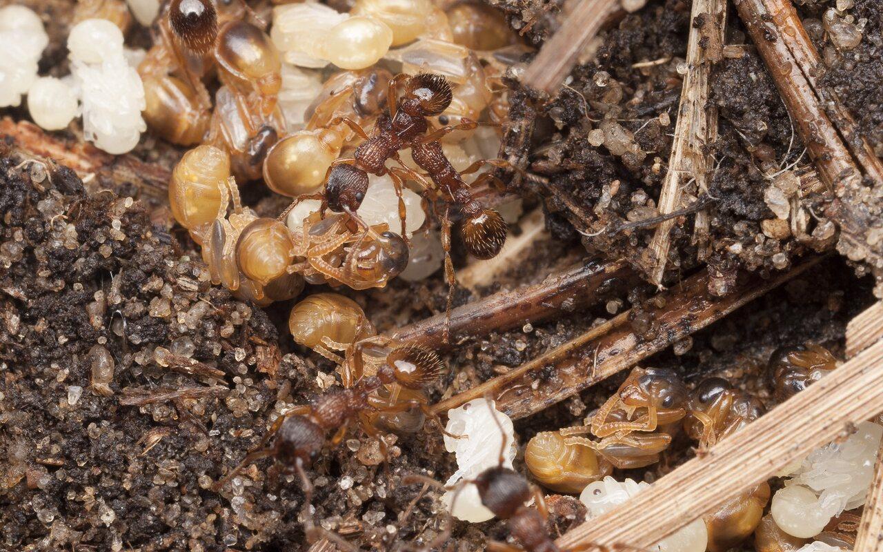 Formicidae-1690.jpg