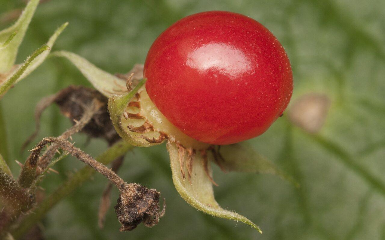 Rubus-saxatilis-1697.jpg