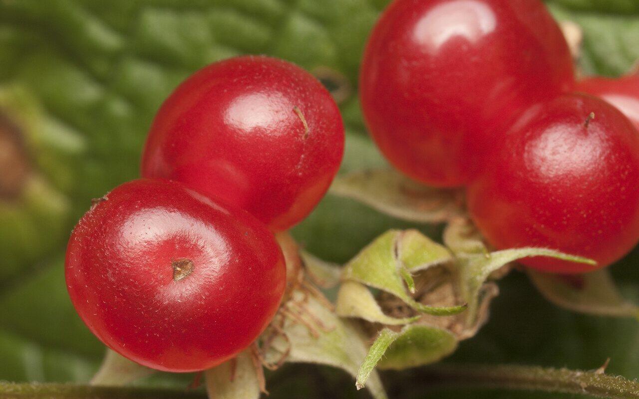 Rubus-saxatilis-1698.jpg