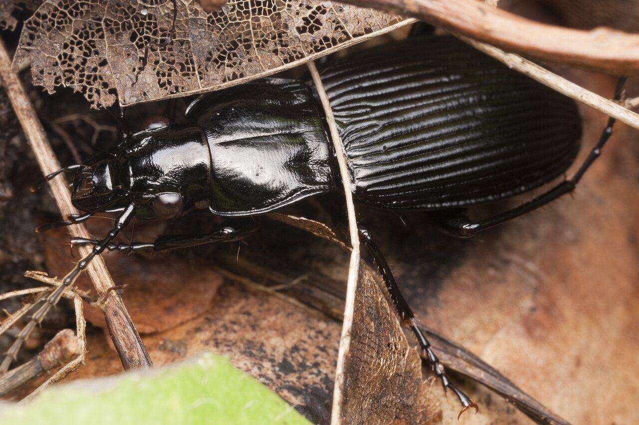 Pterostichus-niger-1702.jpg