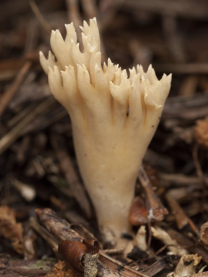 Ramaria-eumorpha-1707.jpg