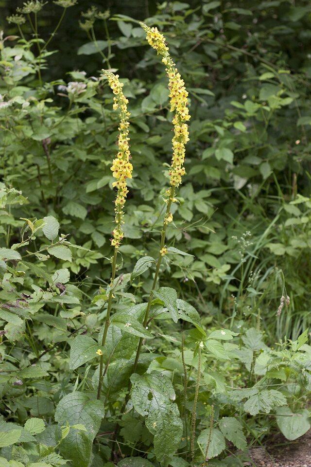 Verbascum-nigrum-1720.jpg