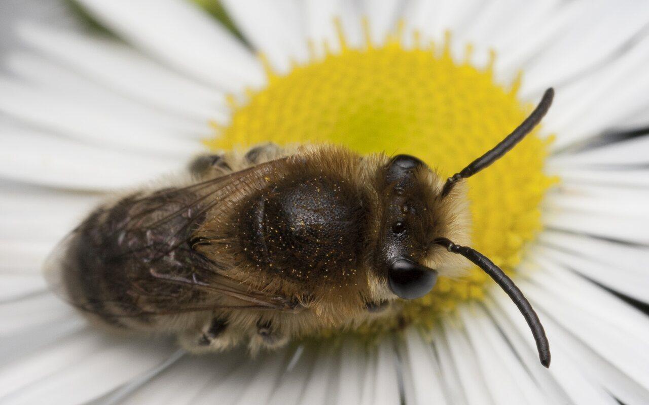 Apidae-1736.jpg