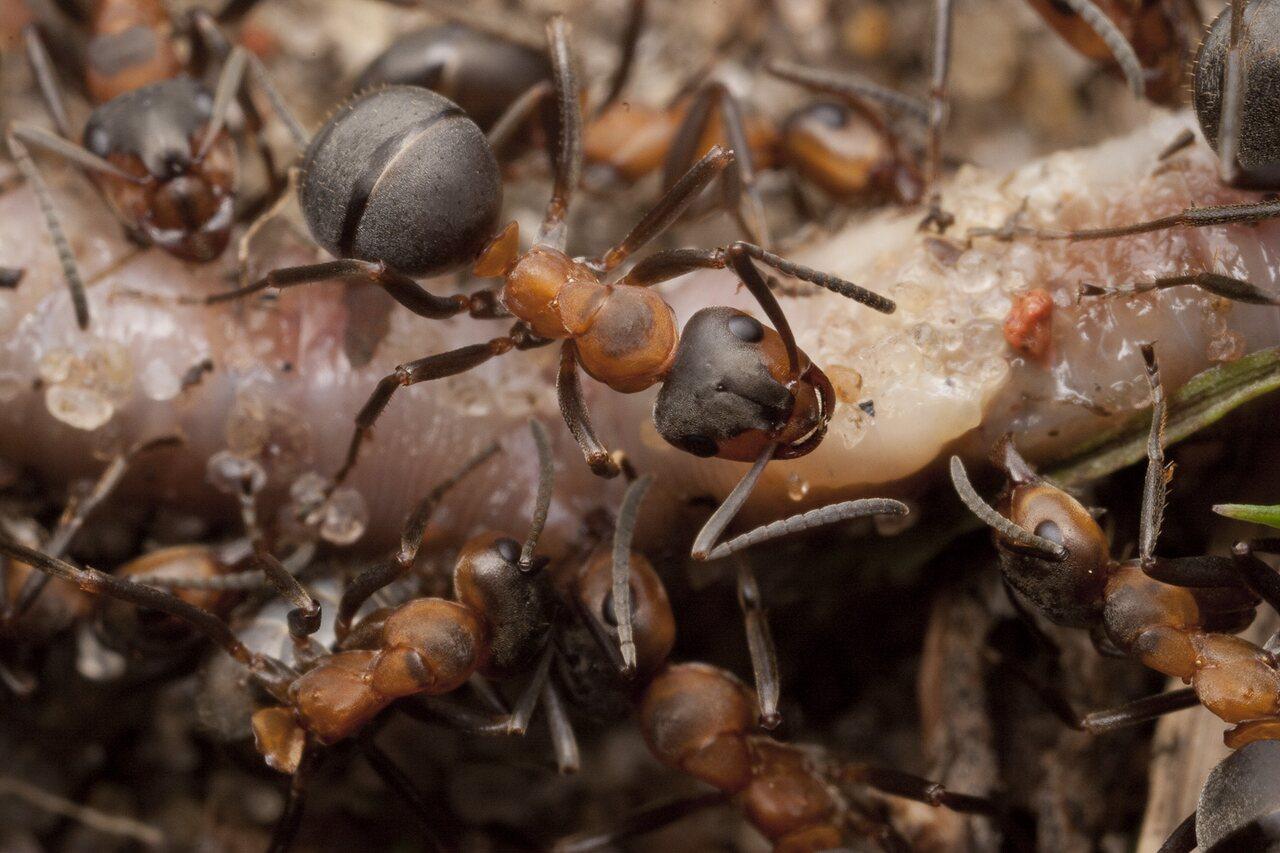 Formicidae-1751.jpg