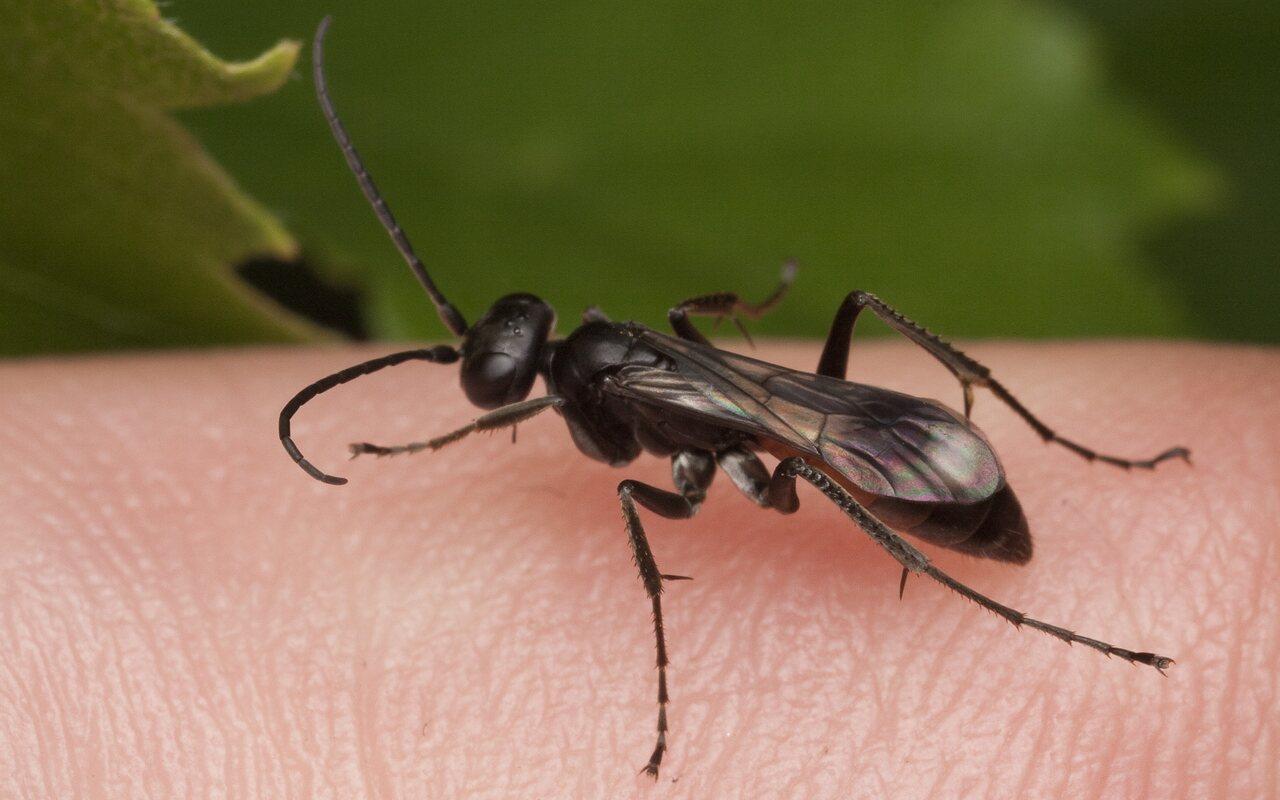 Hymenoptera-1756.jpg
