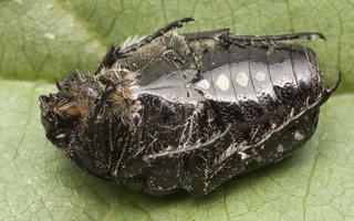 Oxythyrea funesta · kvapusis auksavabalis