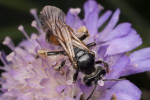 Andrena hattorfiana female · buožaininė smėliabitė ♀