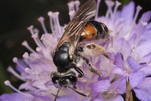 Andrena hattorfiana · buožaininė smėliabitė 1770