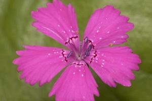 Caryophyllaceae · gvazdikiniai