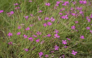 Dianthus deltoides · šilinis gvazdikas