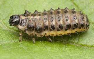 Chrysomela populi larva · tuopinis gluosninukas, lerva