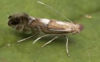 Phyllonorycter strigulatella ? · baltalksninė keršoji kandelė