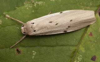 Pelosia muscerda · pilkoji taškuotoji kerpytė