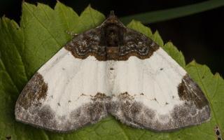 Mesoleuca albicillata · gervuoginė cidarija