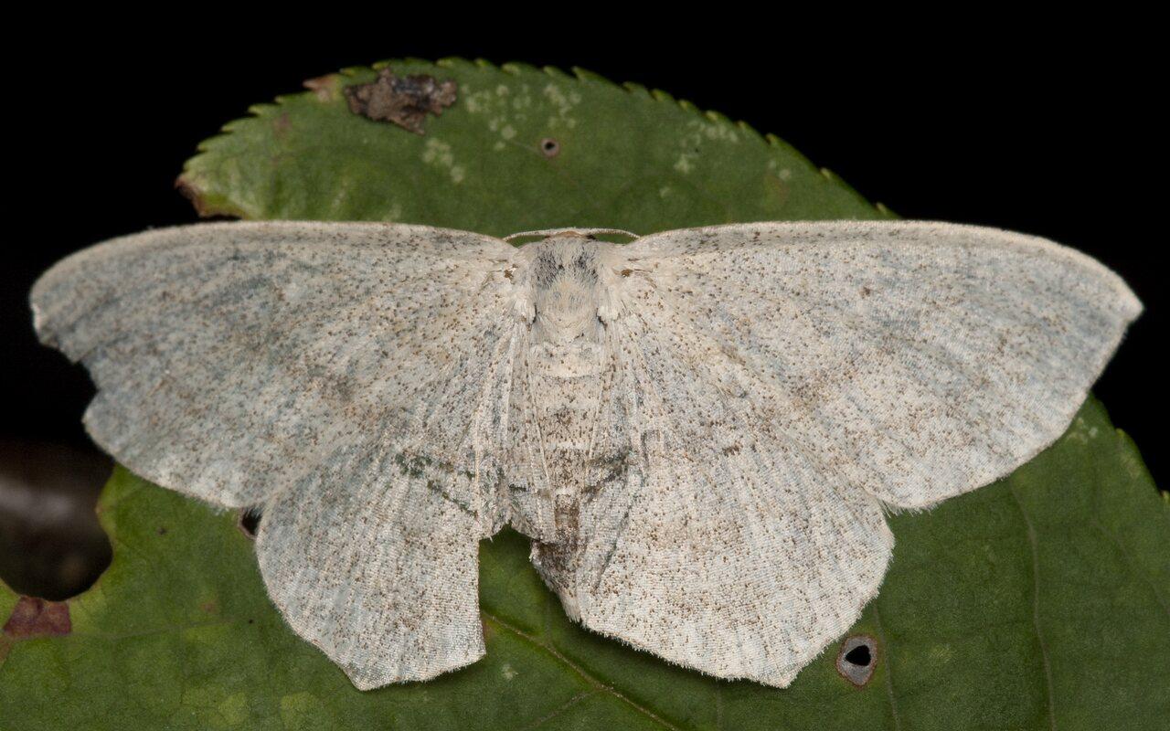 Scopula-floslactata-1800.jpg