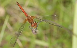 Sympetrum flaveolum · geltonsparnė skėtė