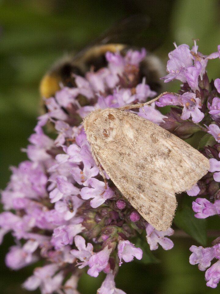 Lepidoptera-1809.jpg