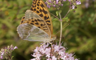 Argynnis paphia female · didysis perlinukas ♀