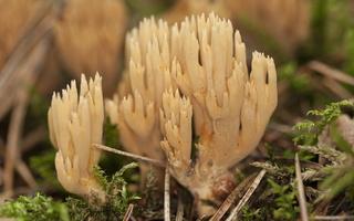 Gomphaceae · kuokiniai