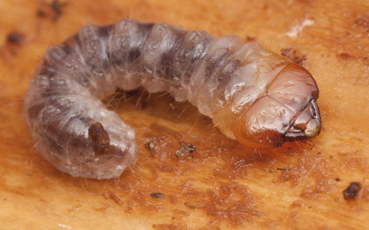 Cerambycidae-1840.jpg