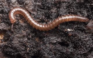 Cylindroiulus punctatus · šimtakojis dviporiakojis