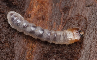 ~Cerambycidae larvae · ūsuočių lervos