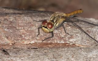 Sympetrum sanguineum female · kruvinoji skėtė ♀
