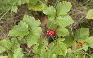 Rubus saxatilis · paprastoji katuogė