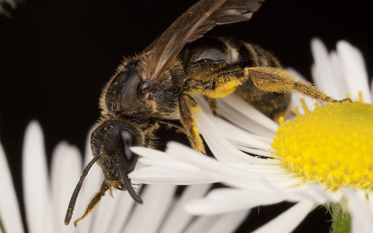 Apidae-1878.jpg