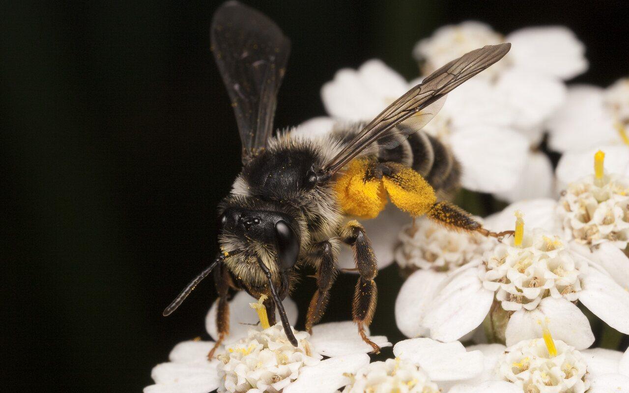 Apidae-1884.jpg