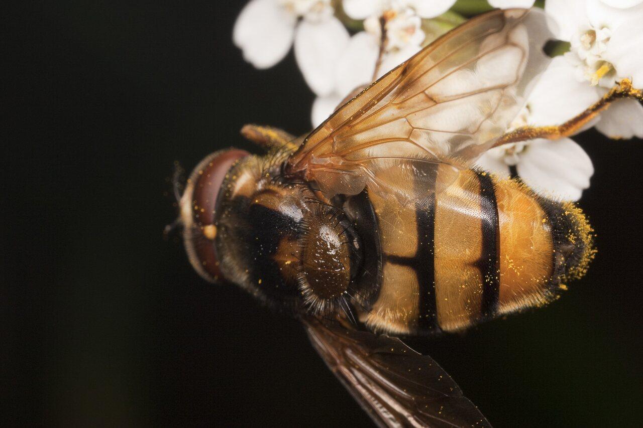 Syrphidae-1893.jpg