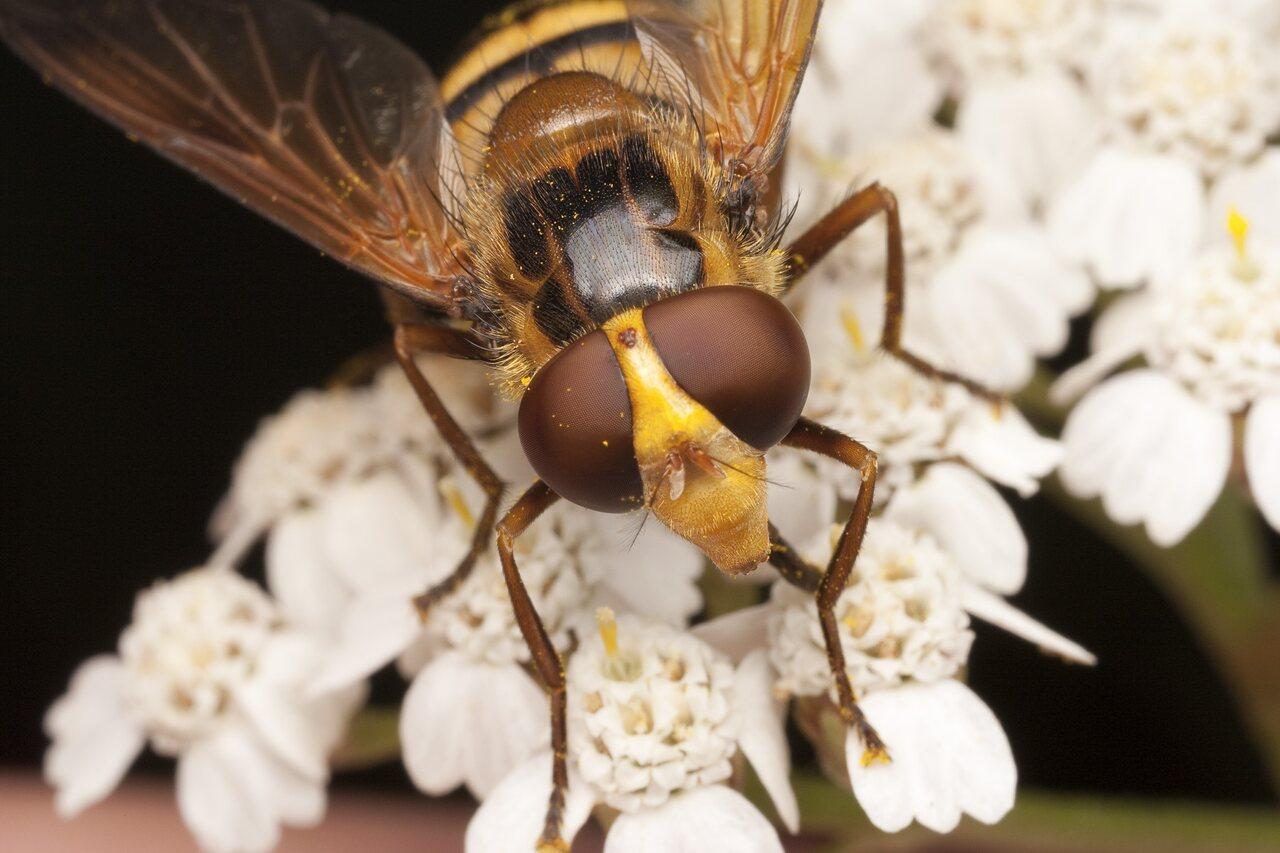 Syrphidae-1894.jpg
