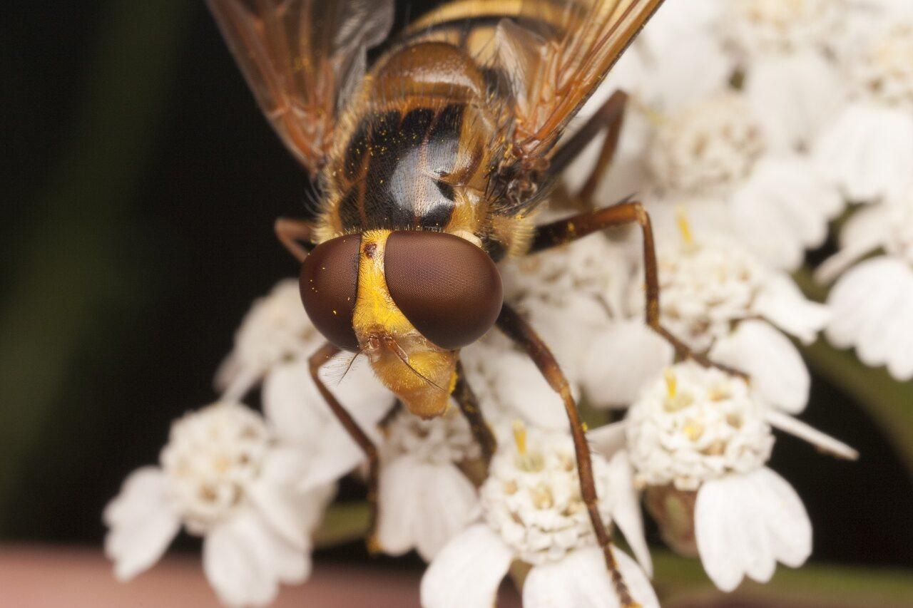 Syrphidae-1895.jpg