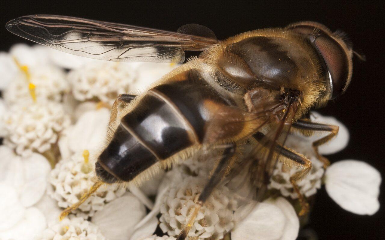 Syrphidae-1897.jpg