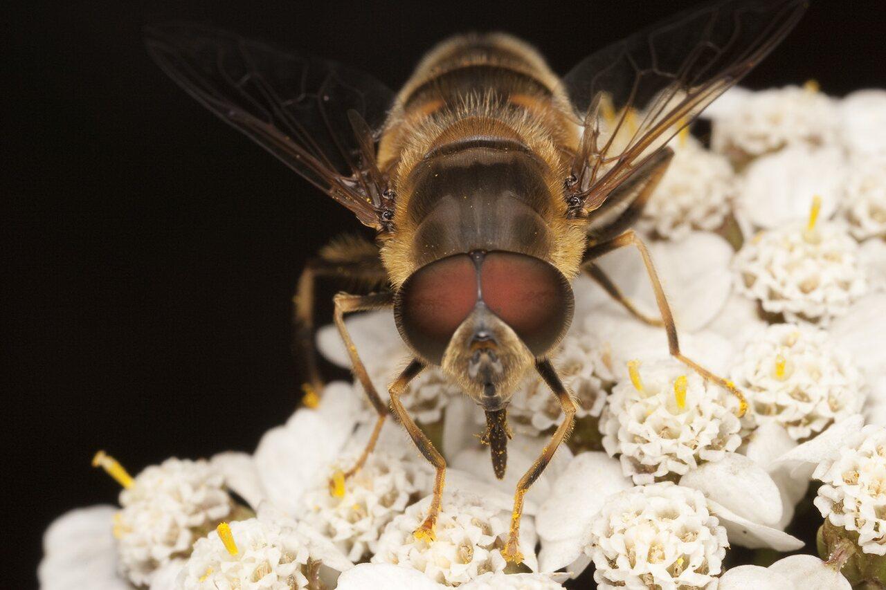 Syrphidae-1898.jpg